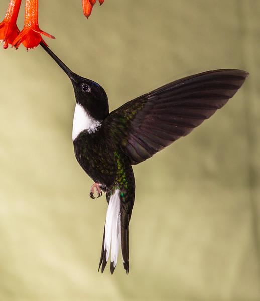 Collared Inca hummingbird, Coeligena torquata, at Guango Lodge in Ecuador.