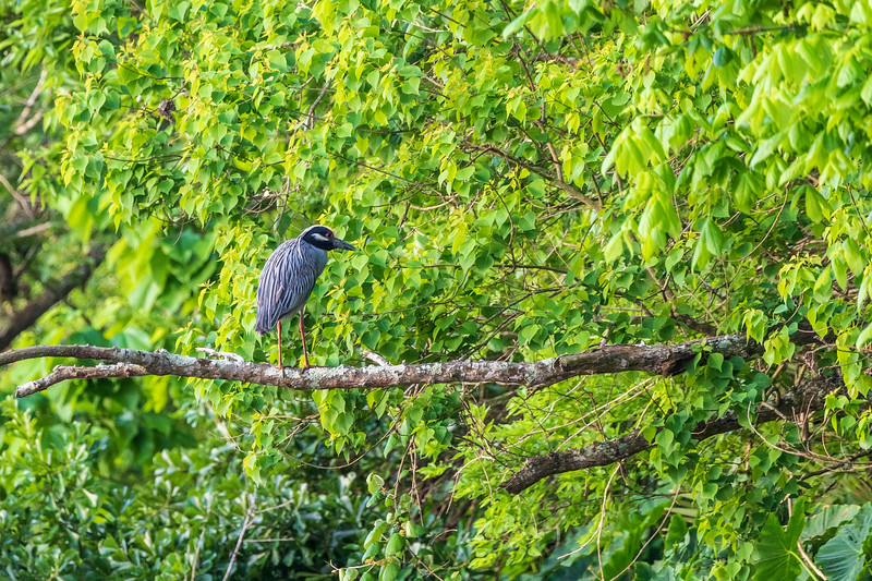 Yellow-crowned Night Heron perching above Armand Bayou in Pasadena Texas.