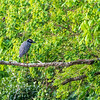 Yellow-crowned Night Heron perching above Armand Bayou in Pasadena Texas.