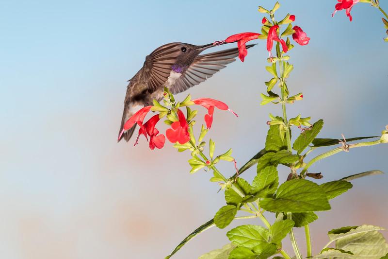Black-chinned Hummingbird, Archilochus alexandri, feeding at flower.