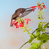 Black-chinned Hummingbird, Archilochus alexandri, feeding at flower.