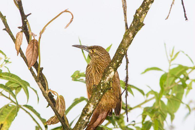 Strong-billed Woodcreeper, Xiphocolaptes promeropirhynchus, rare bird in Ecuador