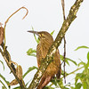 Strong-billed Woodcreeper, Xiphocolaptes promeropirhynchus, rare bird in Ecuador
