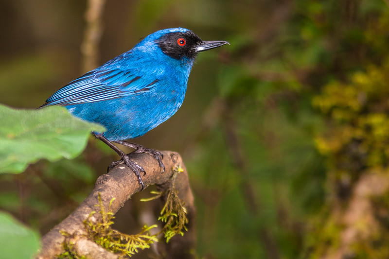 Masked Flowerpiercer, Diglossopis cyanea, at Guango Lodge in Ecuador.