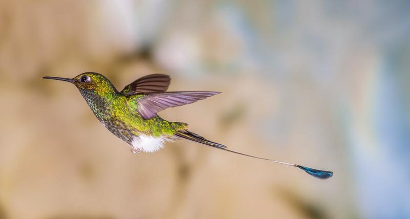 Booted Racket-tail hummingbird, Ocreatus underwoodii, at Tandayapa Lodge in Ecuador.