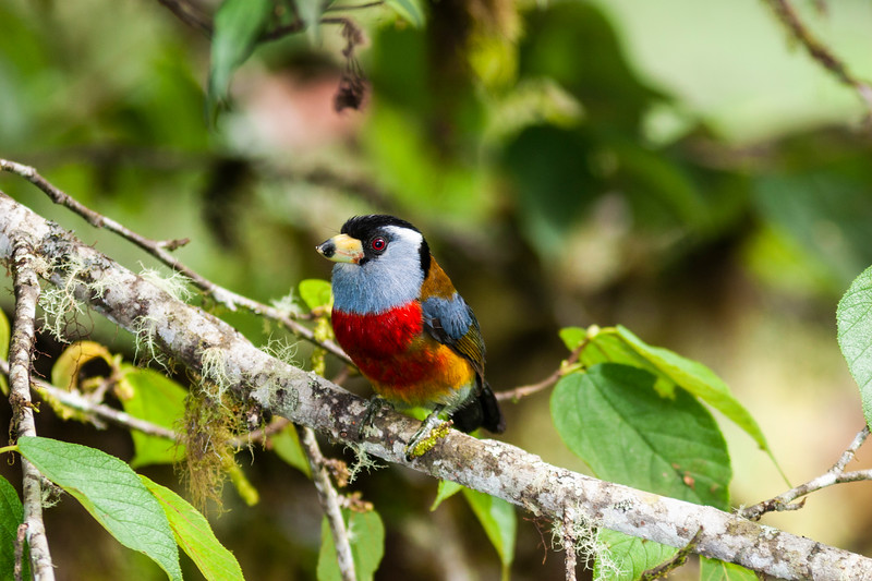 Toucan Barbet, Semnornis ramphastinus, (near Threatened), found at Bellavista Cloud Forest Preserve in Ecuador