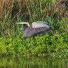 Great Blue Heron in flight over Armand Bayou in Pasadena Texas