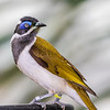 Blue-faced honeyeater in rainforest pyramid in Moody Gardens in Galveston, Texas.