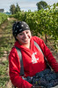 Young worker harvests wine grapes in Grandview, WA.  #7088