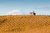 Fall Vineyard and Mt. Adams