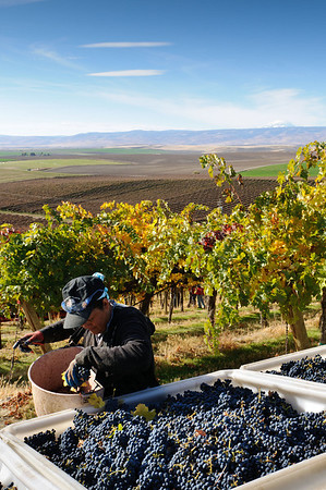 Anna, Grape Picker - Yakima Valley Wine Grape Harvest near White Swan, WA.  #5296
