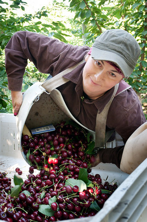 Fidalina, Cherry Picker - Yakima Valley Cherry Harvest