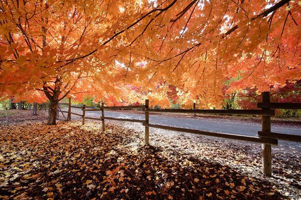 Sunlight through Red Maples