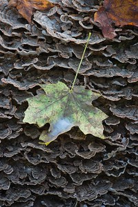 Decaying Leaf on Tree Fungi