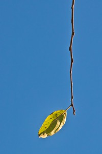 Solitary Leaf on Tree Branch