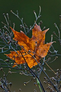 Orange Deciduous Leaf Caught in Branches