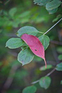 Red Leaf Laying on Green Leaves