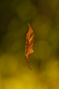 Orange Deciduous Leaf Hanging By Web String