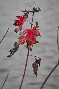 Red Decaying Leaves Among Pond Backdrop
