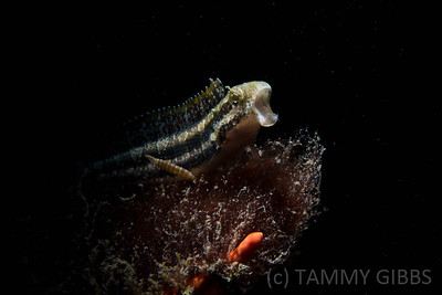 Fangtooth Blenny Top 100 | Australasian Underwater Festival 2013