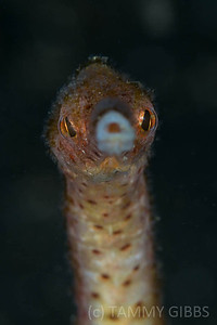 Short-tailed Pipefish