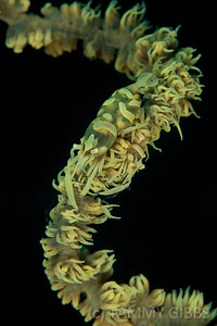 Shrimp on Whip Coral