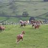 DH-5144E Scenic Herd