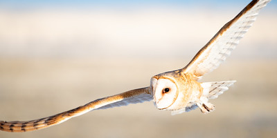 Barn Owl in the Morning