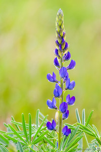 Altramuz azul (Lupinus angustifolius)