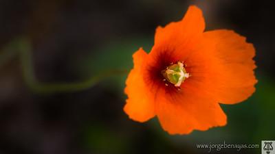 Amapola oblonga (Papaver dubium)