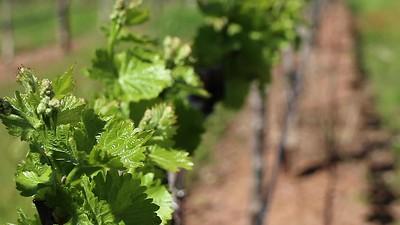 Springtime at Starfield Vineyards
