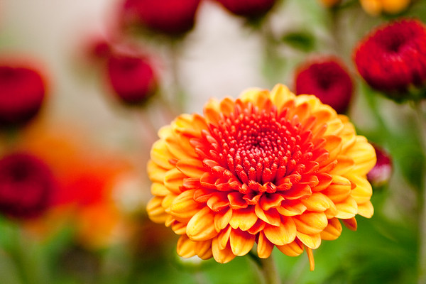 This shot is taken using a special macro technique.  In this shot,  I'm focused on the popular fall flower, the mum.  The lighting for this shot was very good, and I love the colors my camera was able to capture on the opened mum in focus, and the blurred mums about to open in the background.   This is 1 of 3 macro fall flower photographs I took that day.  The other 2 are  available as a limited edition print as well, and together would make a great collection.   Please contact me if interested in seeing the set of 3.