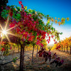 Soft Sunlight on Vineyard Leaves
