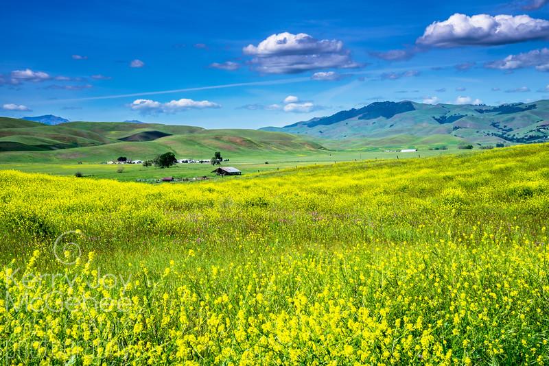 Livermore Mustard Valley