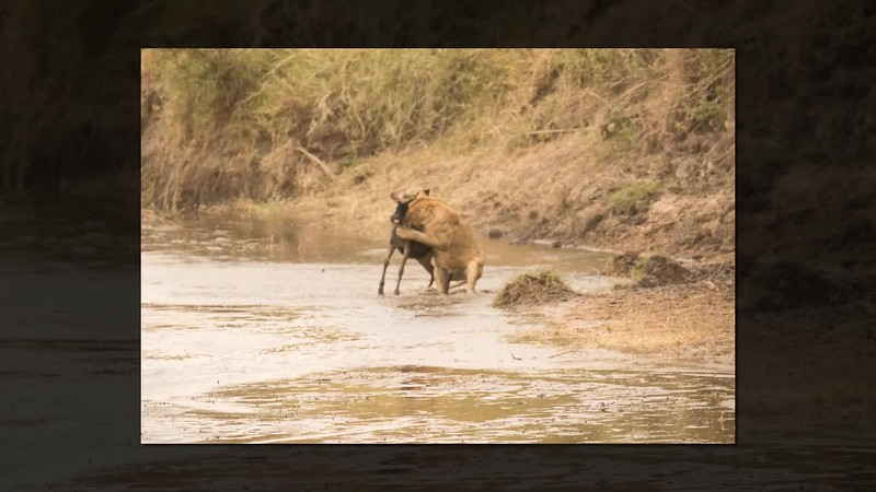 Wildebeeste Cross Sand River meet Trouble