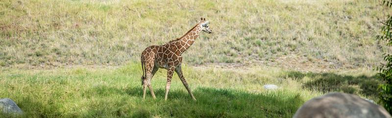 Baby Giraffe Pano 2