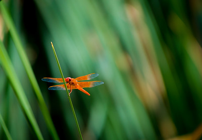 Orange Dragonfly 2