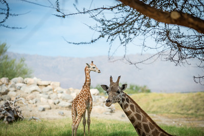 Giraffe Scene 3