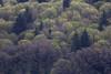 willamette buds