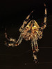Common Garden Spider
