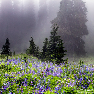 Morning Fog, Mt. Rainier N.P.