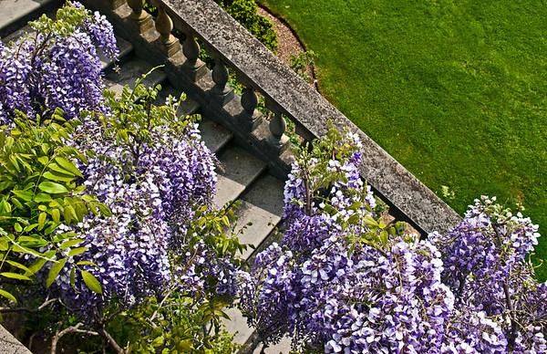 Old Westbury Gardens, wisteria