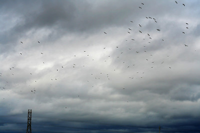 Gulls against a winter sky. Fremont, CA