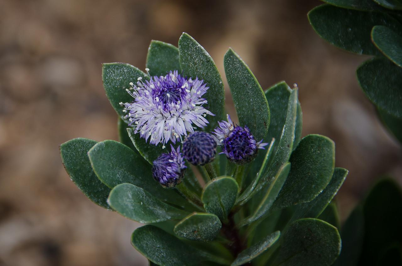 Tiny purple flower found in LA Arboretum