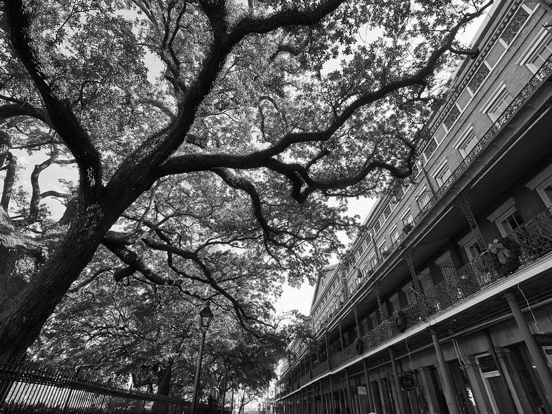 Tree, Jackson Square - New Orleans, Louisiana