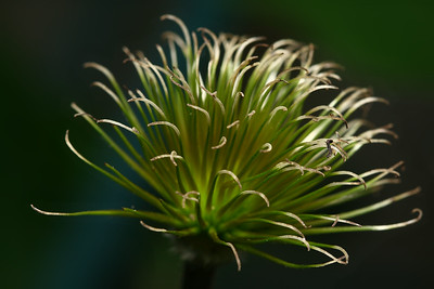 CLEMATIS SEED POD...