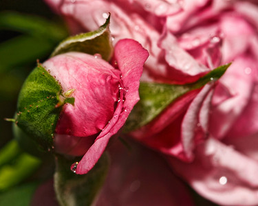 Miniature Faerie Rose drinking in the rain drops...