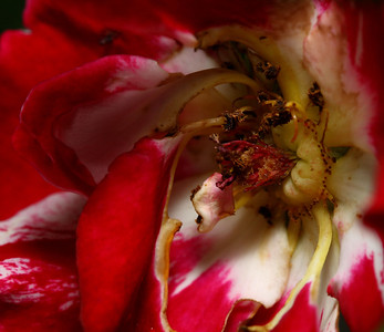 HEART OF A FADING ROSE...