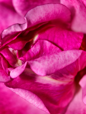 Rose Petals from my garden...