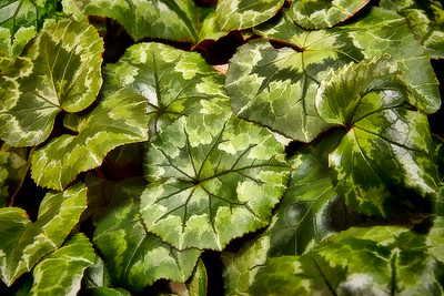 Cyclamen Leaves like painted platters...